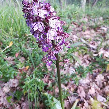 /images/0/4/04-orchidea-spontanea.jpeg