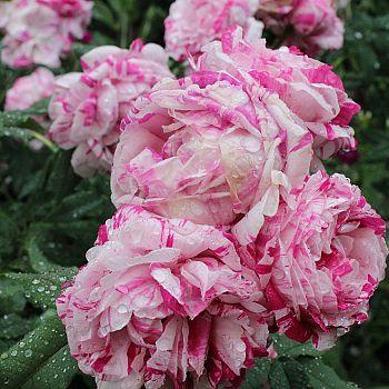 /images/1/8/18-rosa-variegata-di-bologna.jpg