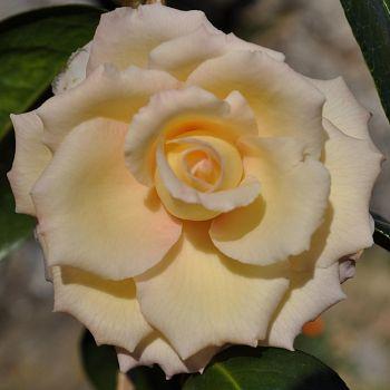 /images/2/3/23-camelia-gialla-x-sinnseiki.jpg