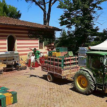 /images/2/9/29-08-tenuta-poggio-al-pino-vendemmia.jpg