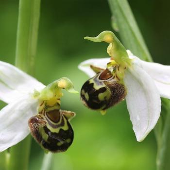 /images/5/0/50-orchidee-selvatiche--foto-di-paolo-caciagli-.png