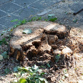 /images/6/4/64-rimozione-alberi-viale-iv-novembre-1013.jpg