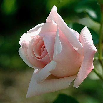 /images/6/8/68-orto-botanico-dettagli-rosa-la-france.jpg