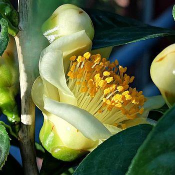 /images/7/3/73-camellia-nitidissima.jpg