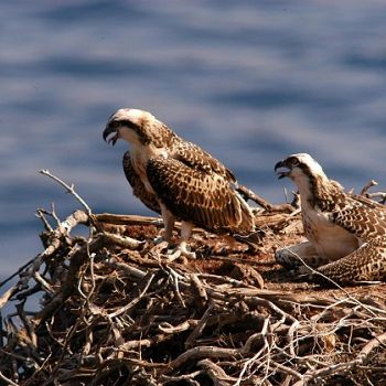 /images/9/0/90-coppia-falco-pescatore-foto-di-repertorio.jpg