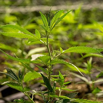 /images/9/2/92-cannabis-light-mystical-pianta.jpg
