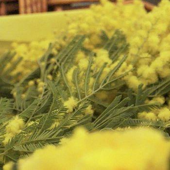 /images/9/6/96-mimosa-8marzo.jpg